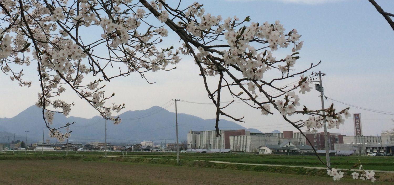徳丹城の桜