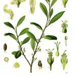 https://commons.wikimedia.org/wiki/File:Erythroxylum_coca_-_K%C3%B6hler%E2%80%93s_Medizinal-Pflanzen-204.jpg https://upload.wikimedia.org/wikipedia/commons/4/42/Erythroxylum_coca_-_K%C3%B6hler%E2%80%93s_Medizinal-Pflanzen-204.jpg